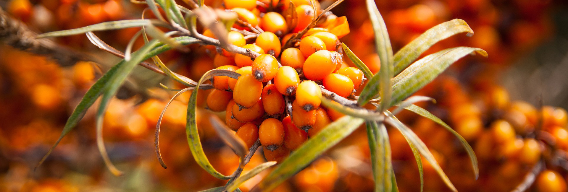Duindoornbes–vitamineA-Membrasin